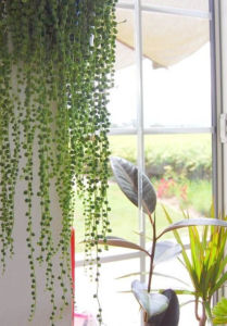 string-of-pearls